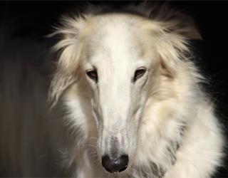 Русская псовая борзая собака - лицо
