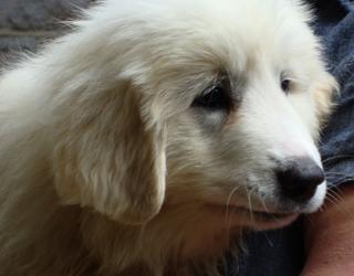 Пиренейская горная собака  - лицо