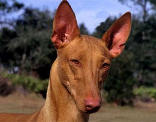 Лицо фараоновой собаки