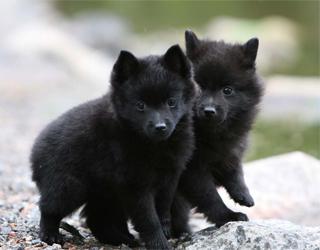 Шипперке - щенки