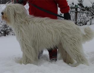 Южнорусская овчарка на снегу