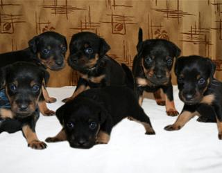 Немецкий ягдтерьер - щенки