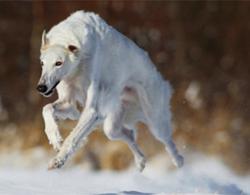 Русская борзая в снегу