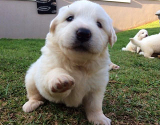 Пиренейская горная собака  - щенок