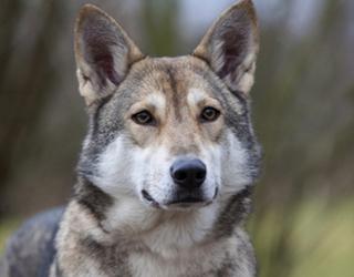 Волчья собака Сарлоса - лицо