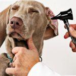 Отит у собак: симптомы, лечение, фото