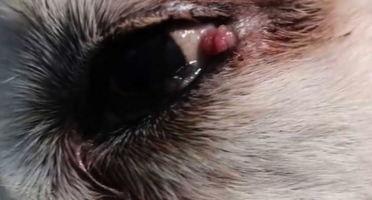 Папиллома у пса