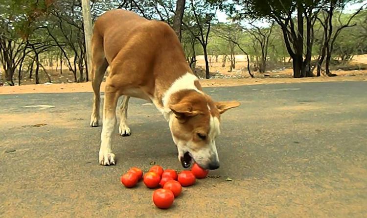 Собака кушает помидоры