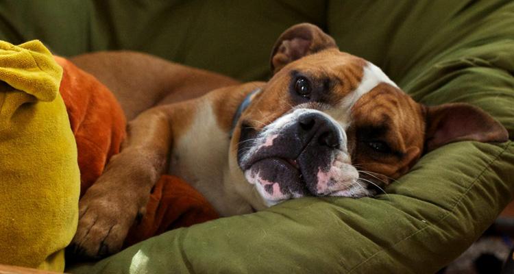 Собака с инсультом