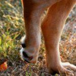 Собака хромает на заднюю лапу: причины и что делать