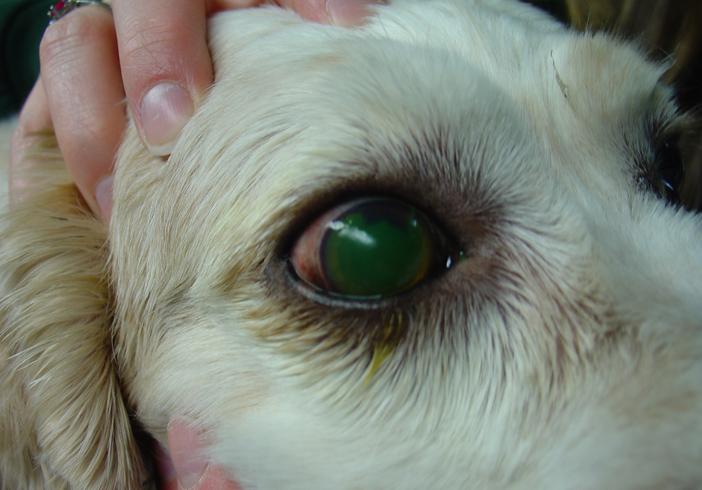 Проблемы с роговицей у собаки