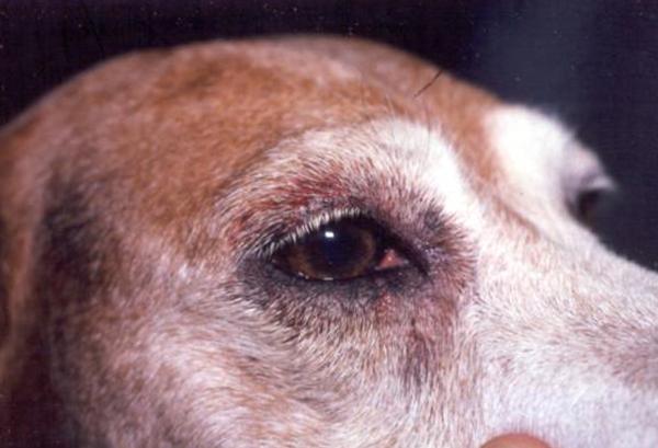 Вид собаки при авитаминозе