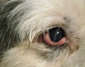 Заплыл глаз у собаки
