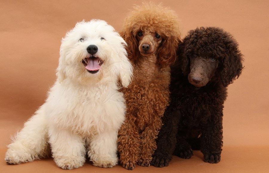 Картинка собака пудель