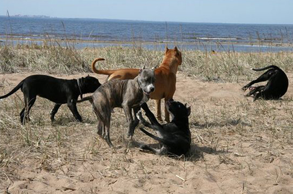 Агрессивные собаки