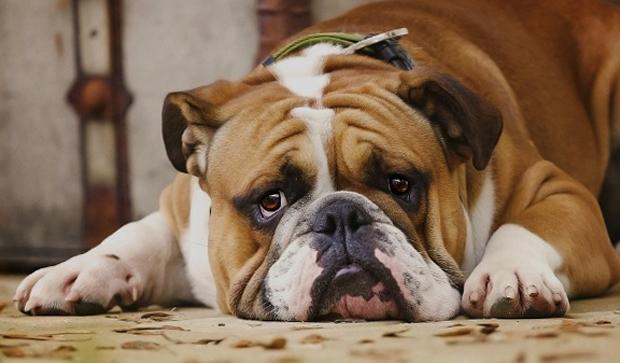 Симптомы анемии у собаки