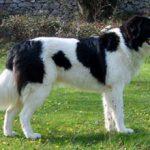 Торньяк — описание и характеристика породы