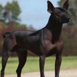 Мексиканская голая собака (Ксолоитцкуинтле) — описание породы (с фото)