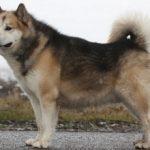 Гренландская собака: фото, описание породы, характер
