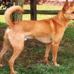 Каролинская собака: описание породы, характер, уход, фото