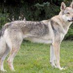 Чехословацкая волчья собака: фото, описание и характеристика породы, уход