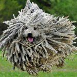 Командор (Венгерская овчарка): описание породы и фото