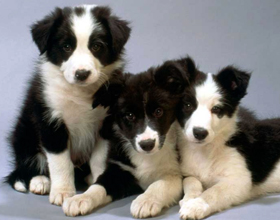 Самые умные и преданные породы собак