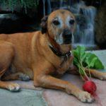 Можно ли давать собакам свеклу?