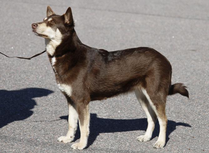 Лопарская оленегонная собака на прогулке