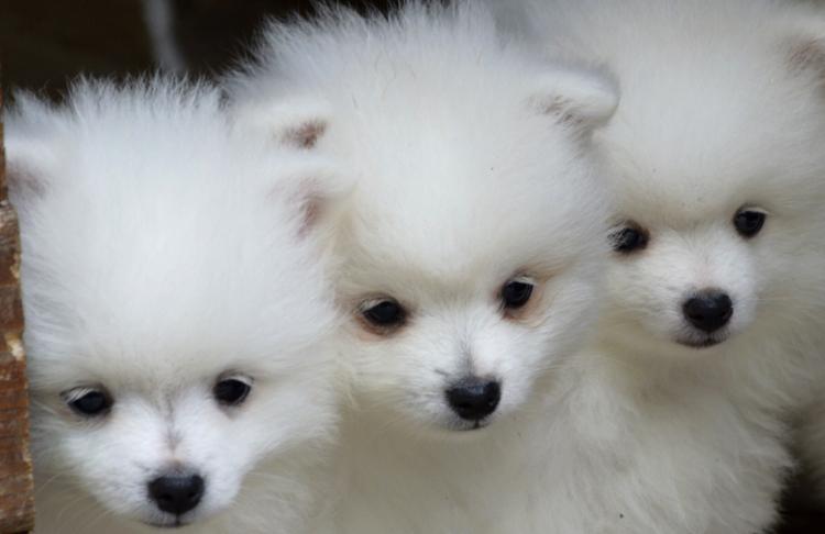 Вольпино-итальяно - три щенка