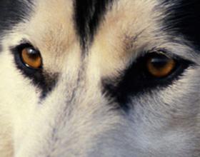 Глаза и зрение собаки
