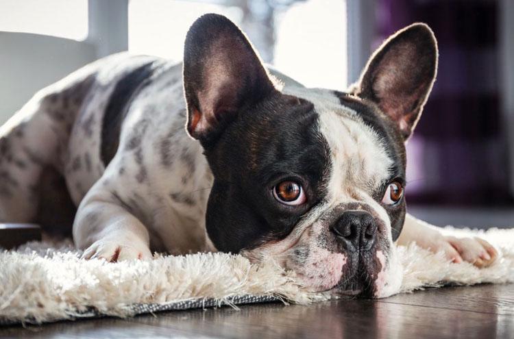 Собака с отравлением