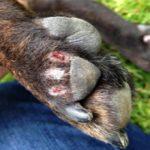 Гниет лапа у собаки: причины и что делать