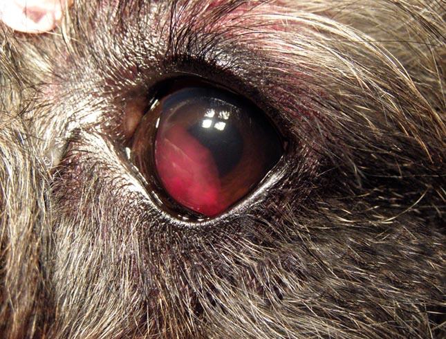 В глазу у собаки кровь