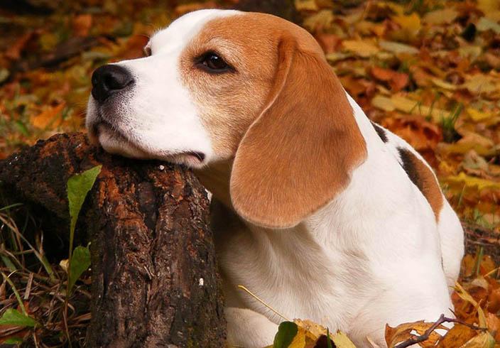 Ларингит у собаки