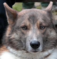 Собака Сулимова - мордочка