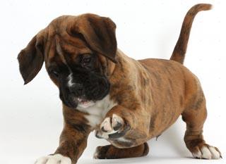 Немецкий боксер - щенок