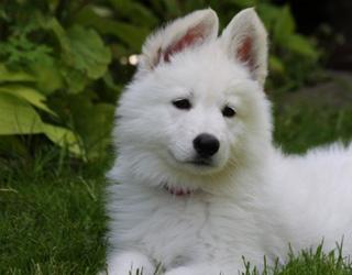 Милая белая швейцарская овчарка
