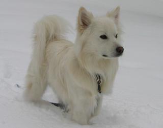 Американский эскимосский шпиц в снегу