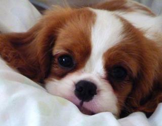 Кинг чарльз спаниель - щенок
