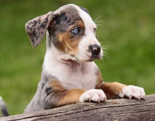 Леопардовая собака - взгяд