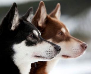 Две оленегонных собаки