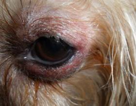 Отек глаз у собак