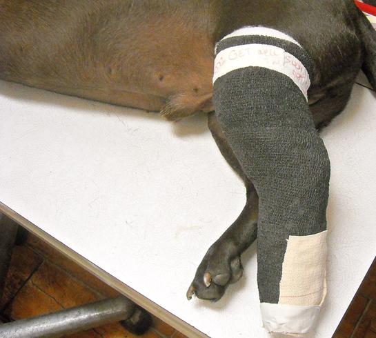 Помощь собаке при переломе