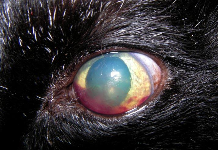 Собака с кровью в глазе