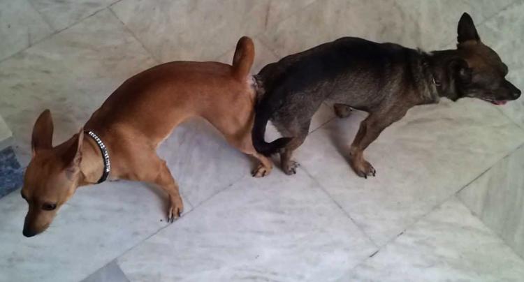 Склейка собак