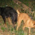 Почему собаки склеиваются после спаривания?