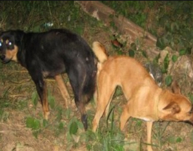 Почему собаки склеиваются после спаривания