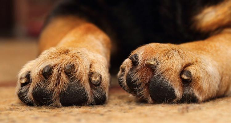 Собака со сломанным пальцем