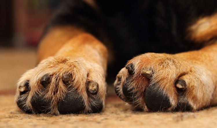 Собака с покусанными осами лапами
